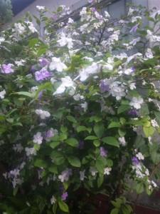 一本の木に紫と白の花を付ける