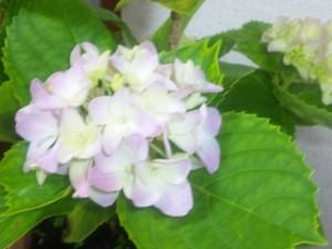 ベランダの紫陽花