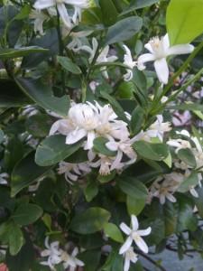 シークワァーサーの花 (小さな実もついている)