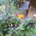 ハンダマ(スイゼンジナ)の花